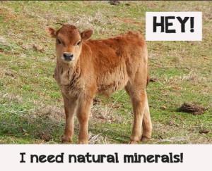 Buckwheat as a calf
