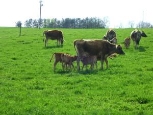 Registered A2/A2 Jersey Heifer Calf